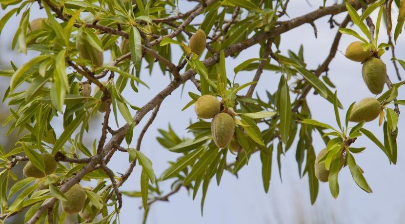 Prunus dulcis, hojas y frutos