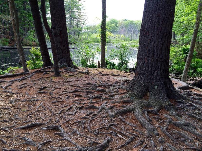 Raíces de los árboles