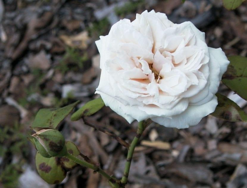 La rosa de té es un arbusto precioso