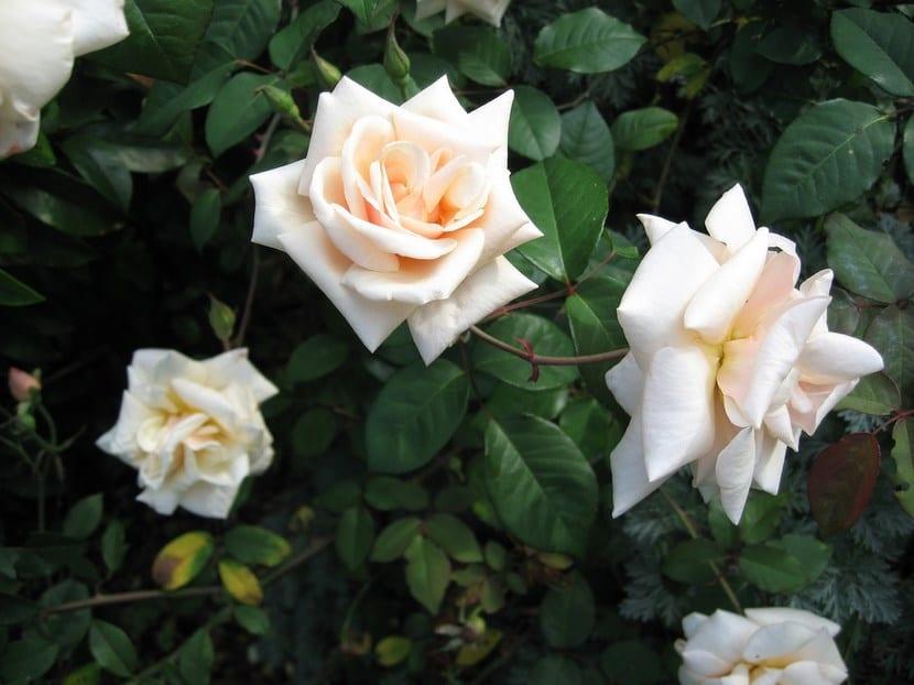 Rosa safrano