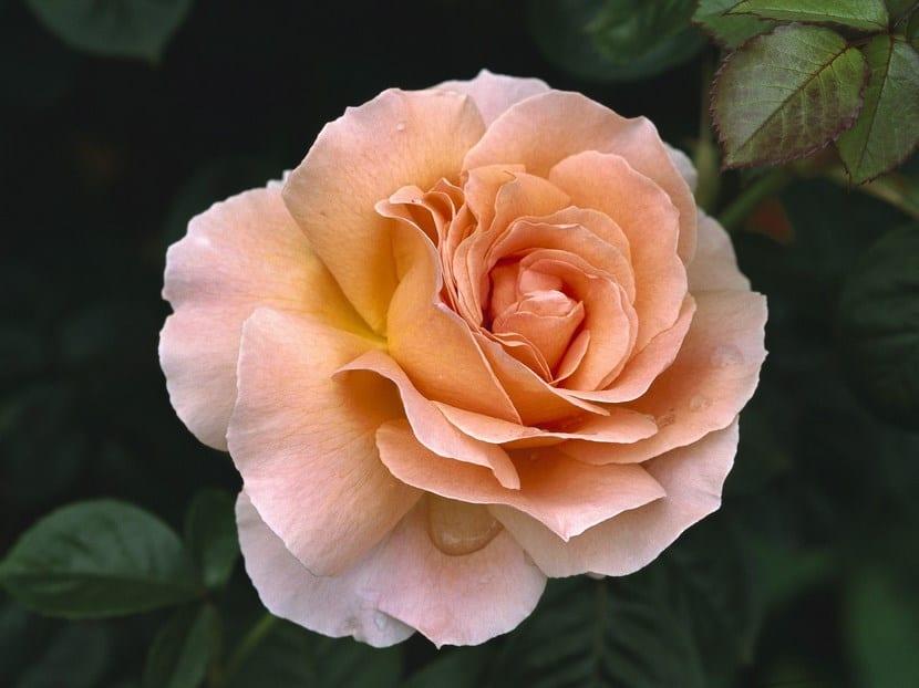 La hermosa Rosa de té
