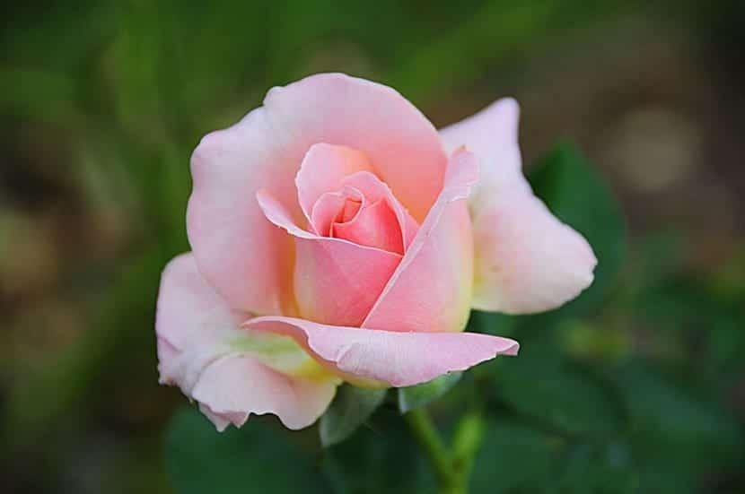 Rosa de té