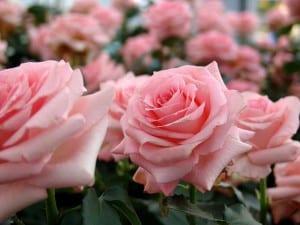 Rosas de color rosa claro