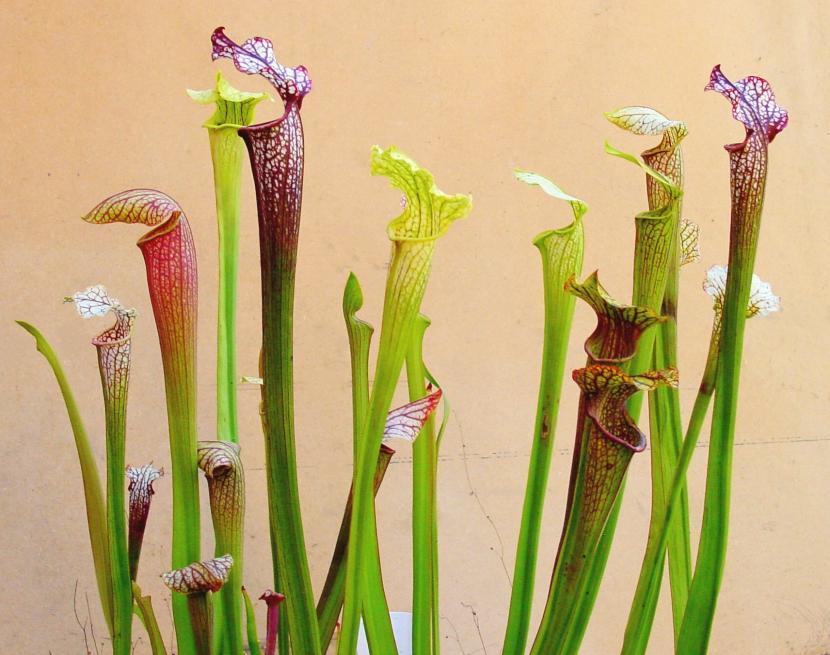 Sarracenia, unas plantas carnívoras espectaculares