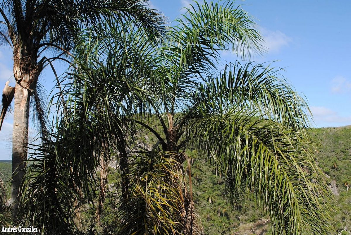 El Syagrus romanzoffiana es una palmera de rápido crecimiento