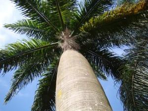 Tronco de Syagrus romanzoffiana, una palmera resistente al frío