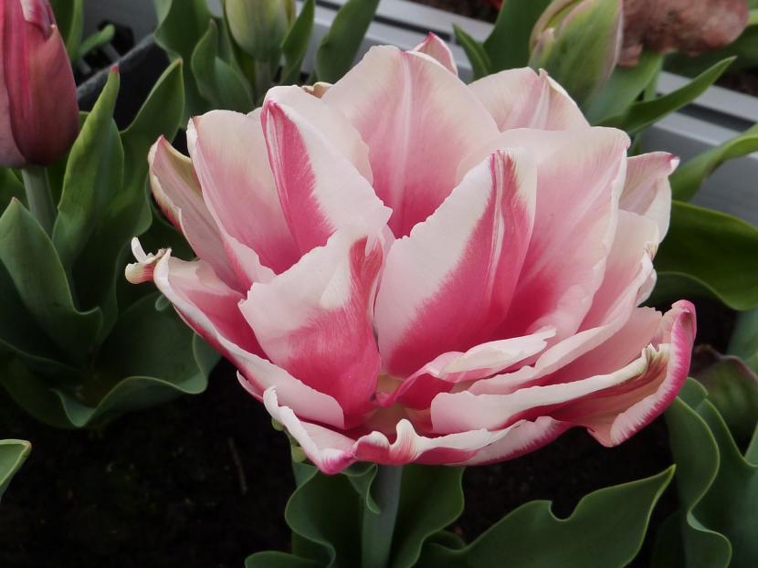 Tulipán de flor doble