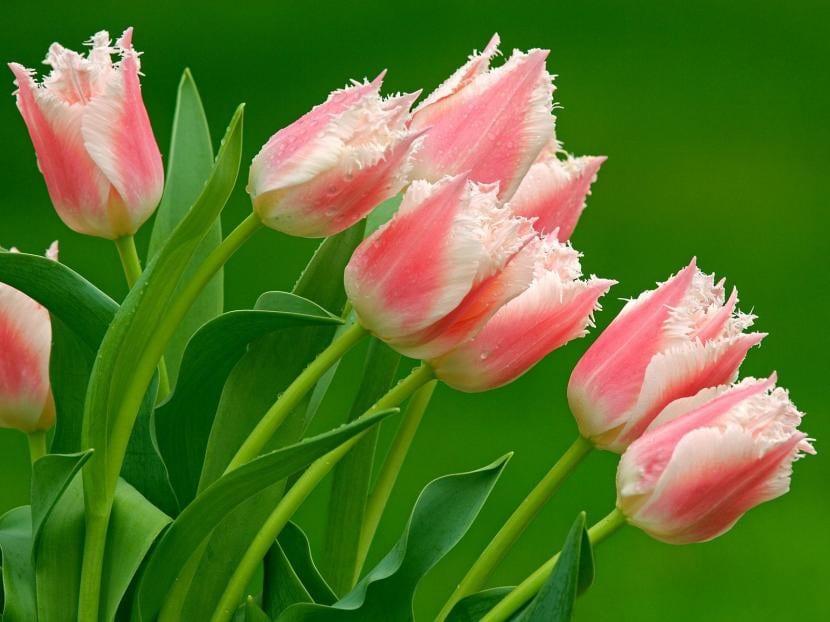 Tulipa ''Papagayo'' en flor