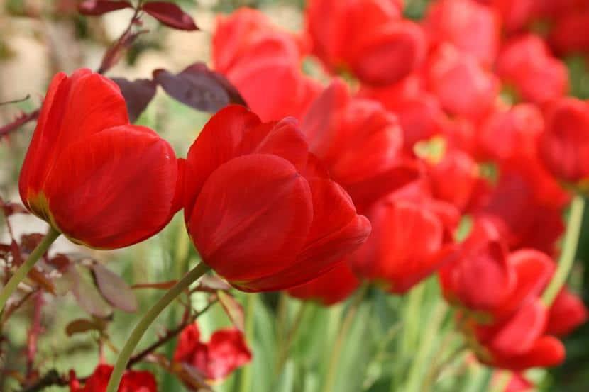 cuál es el significado del tulipán rojo