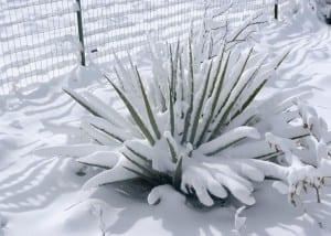 Yucca en la nieve
