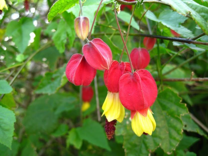 Abutilon megapotamicum en flor