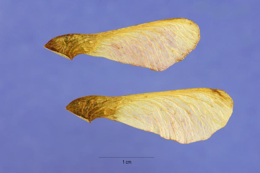 Semillas de Acer ginnala