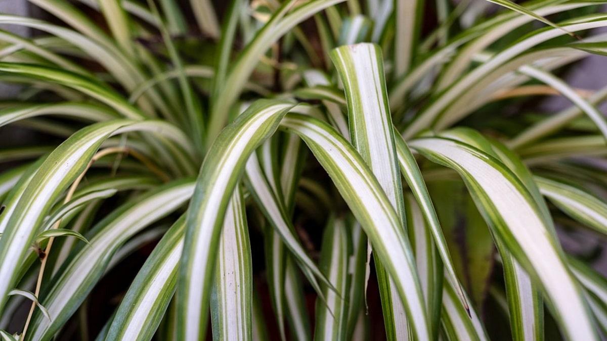 planta colgante cinta