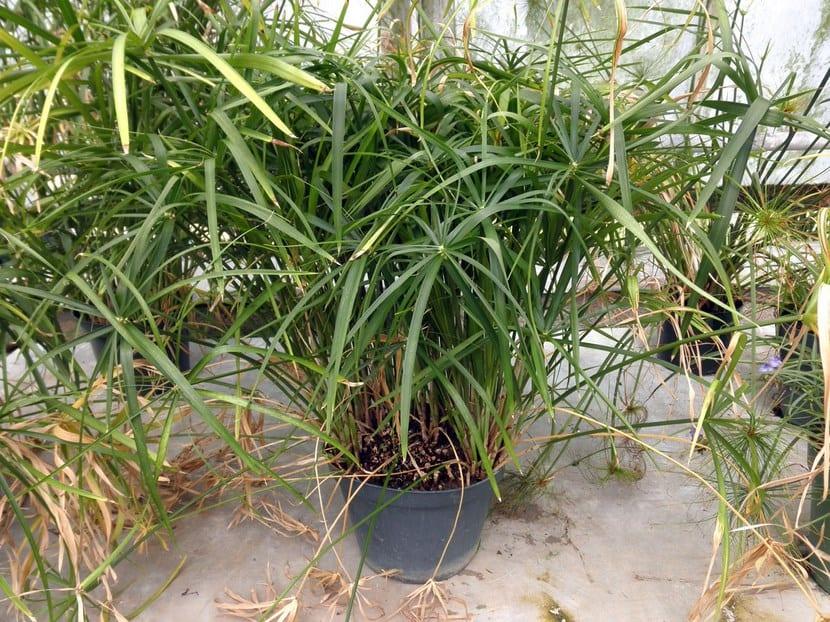 es Cyperus alternifolius-involucratus