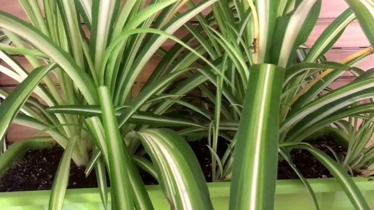 Lacinta es una planta de fácil cultivo