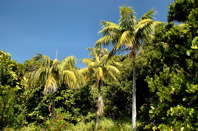 Howea forsteriana, la palmera kentia adulta