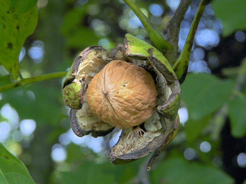 Los mejores rboles frutales resistentes al fr o for Arboles de hoja perenne para clima frio