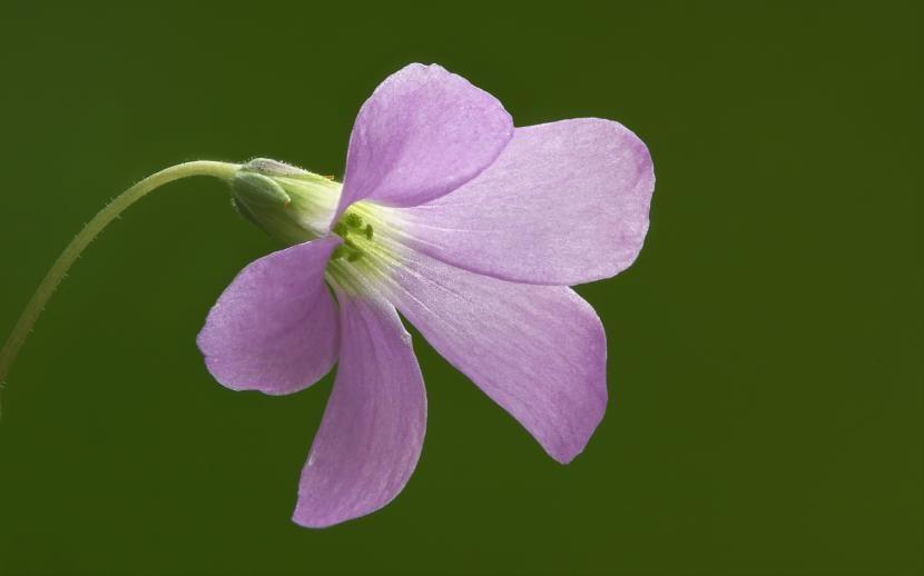 Flor de Oxalis triangularis