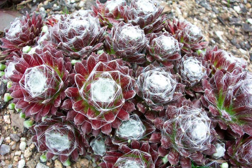 Sempervivum arachnoideum 'Standsfield'