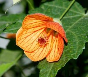 Abutilon pictum en flor