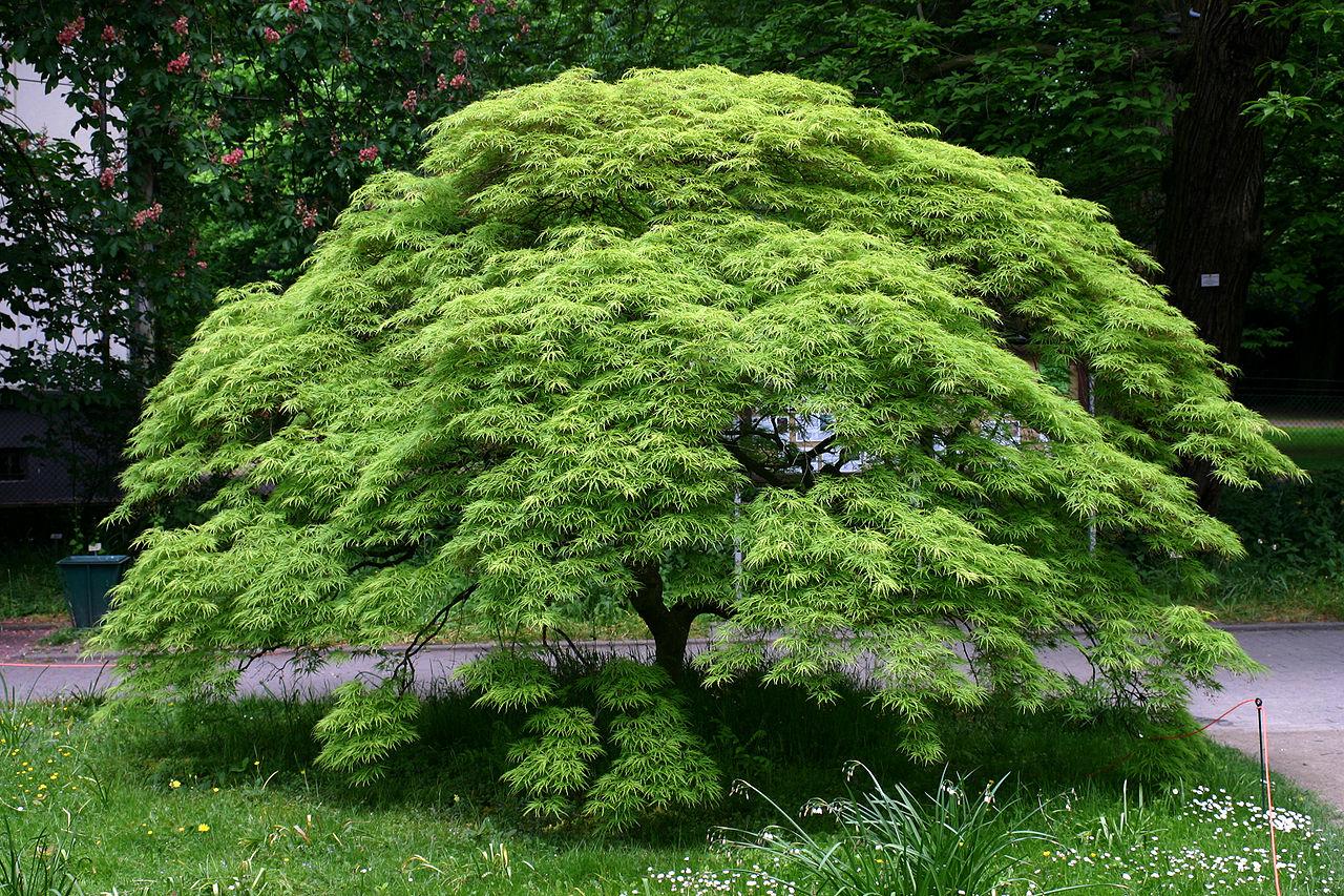 El Acer palmatum es un árbol originario de Asia