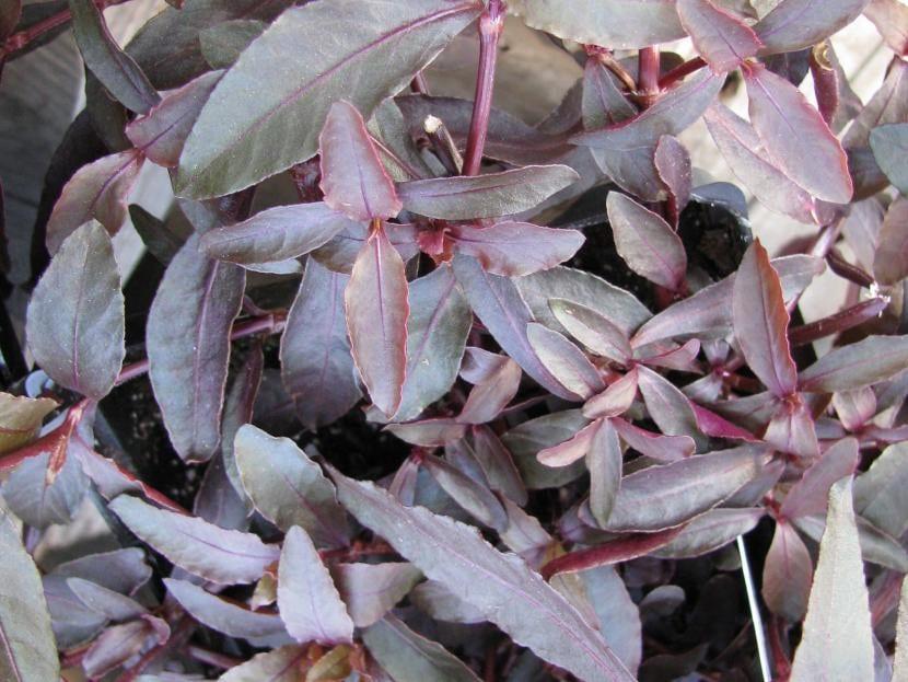 Planta de la especie Alternanthera dentata