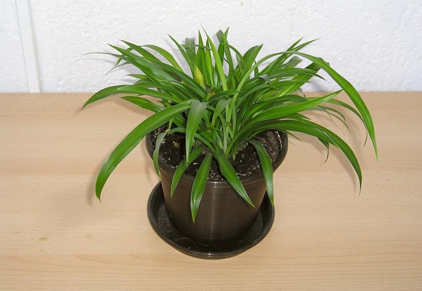 Chlorophytum capense