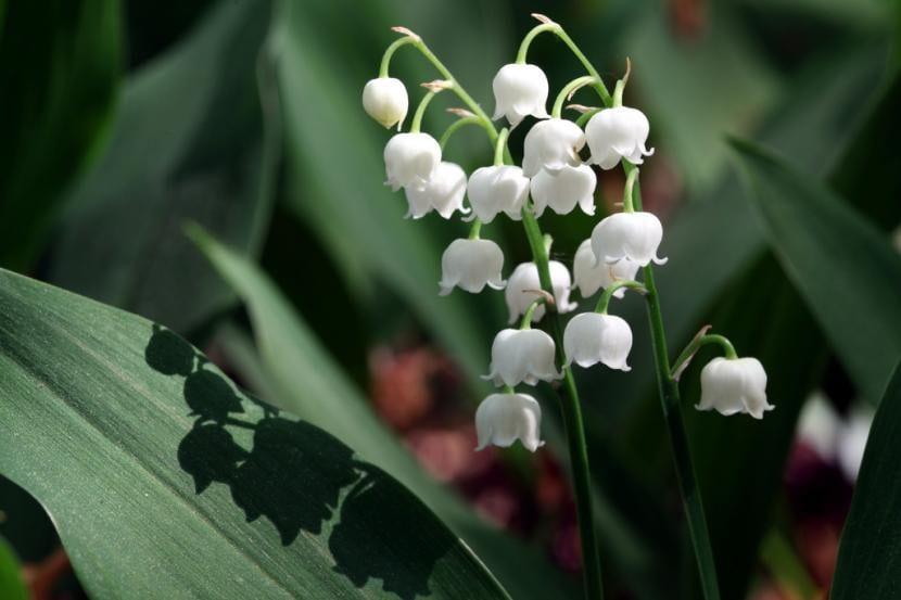 Vista de las flores de Convalaria majalis