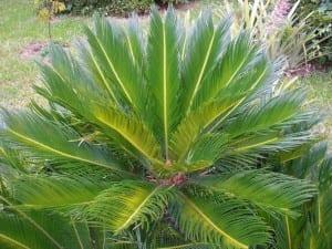 Cycas revoluta, una planta fósil que puedes tener en tu jardín con suelo salino