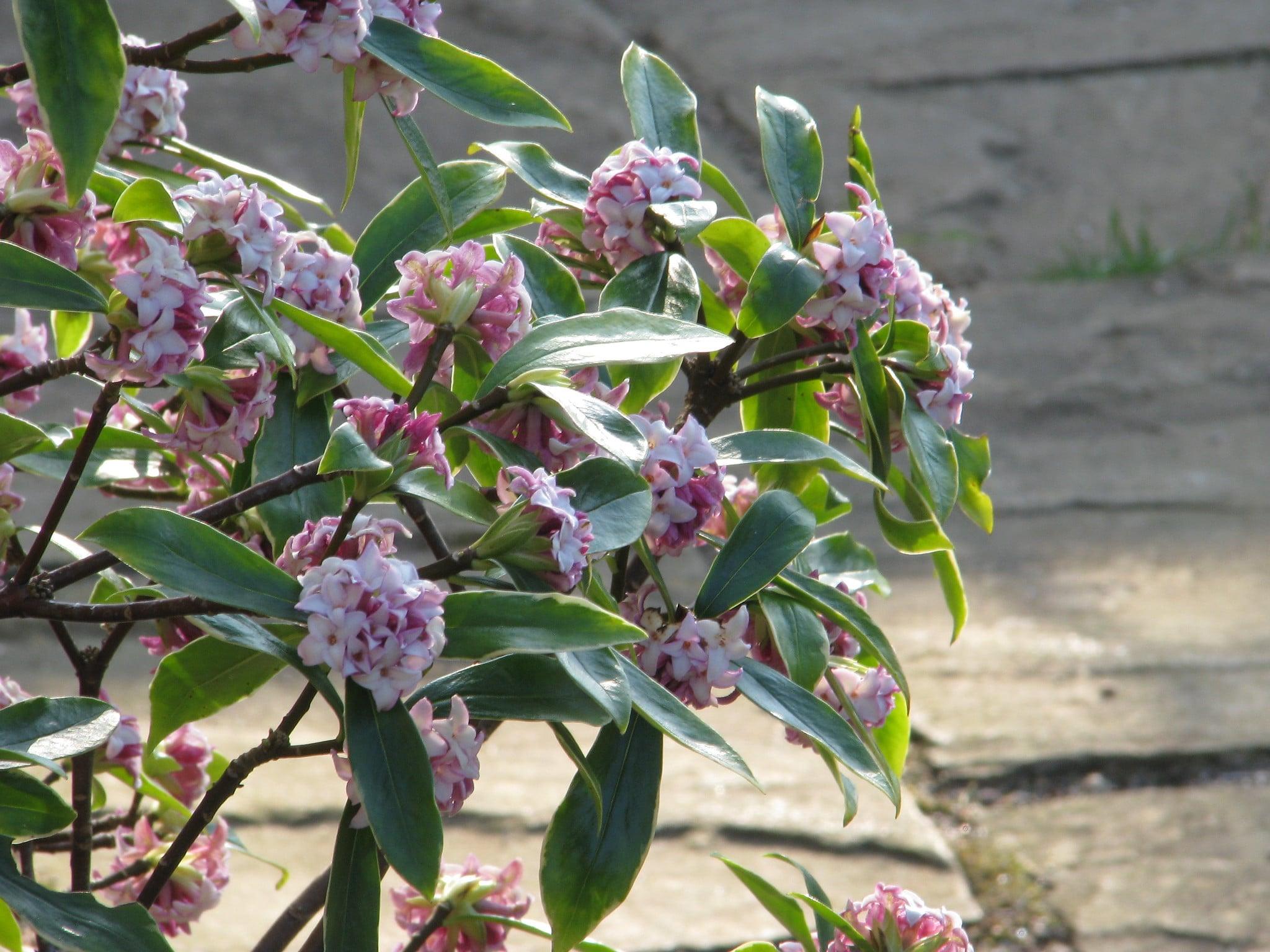 La Daphne odora es un arbusto de flor