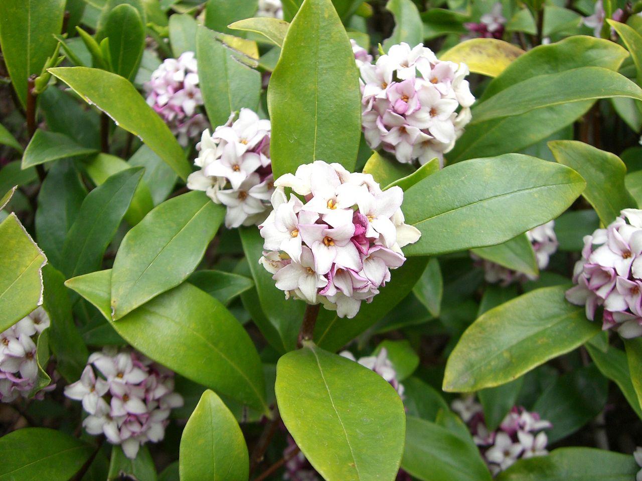 La Daphne odora se multiplica por esquejes