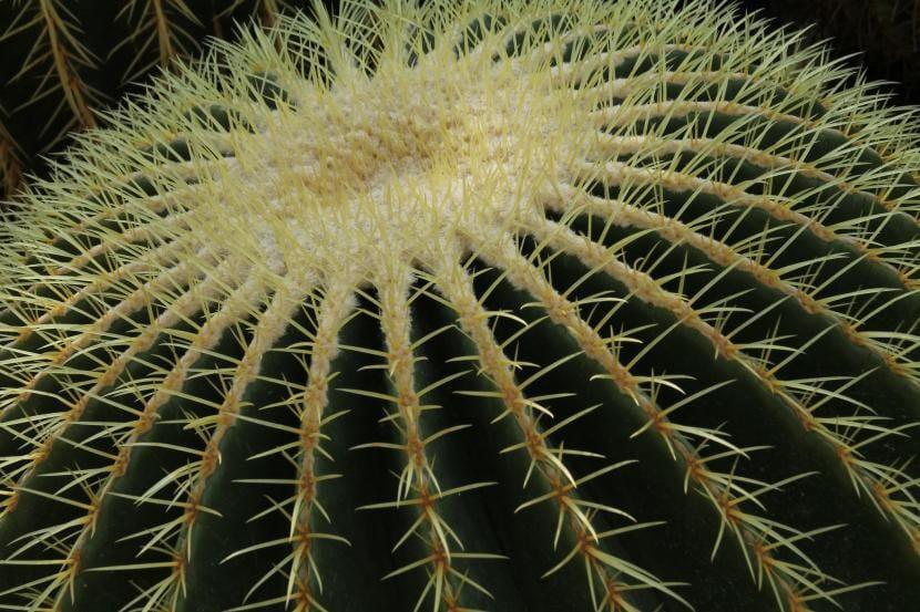 Detalle de las espinas del Echinocactus grusonii