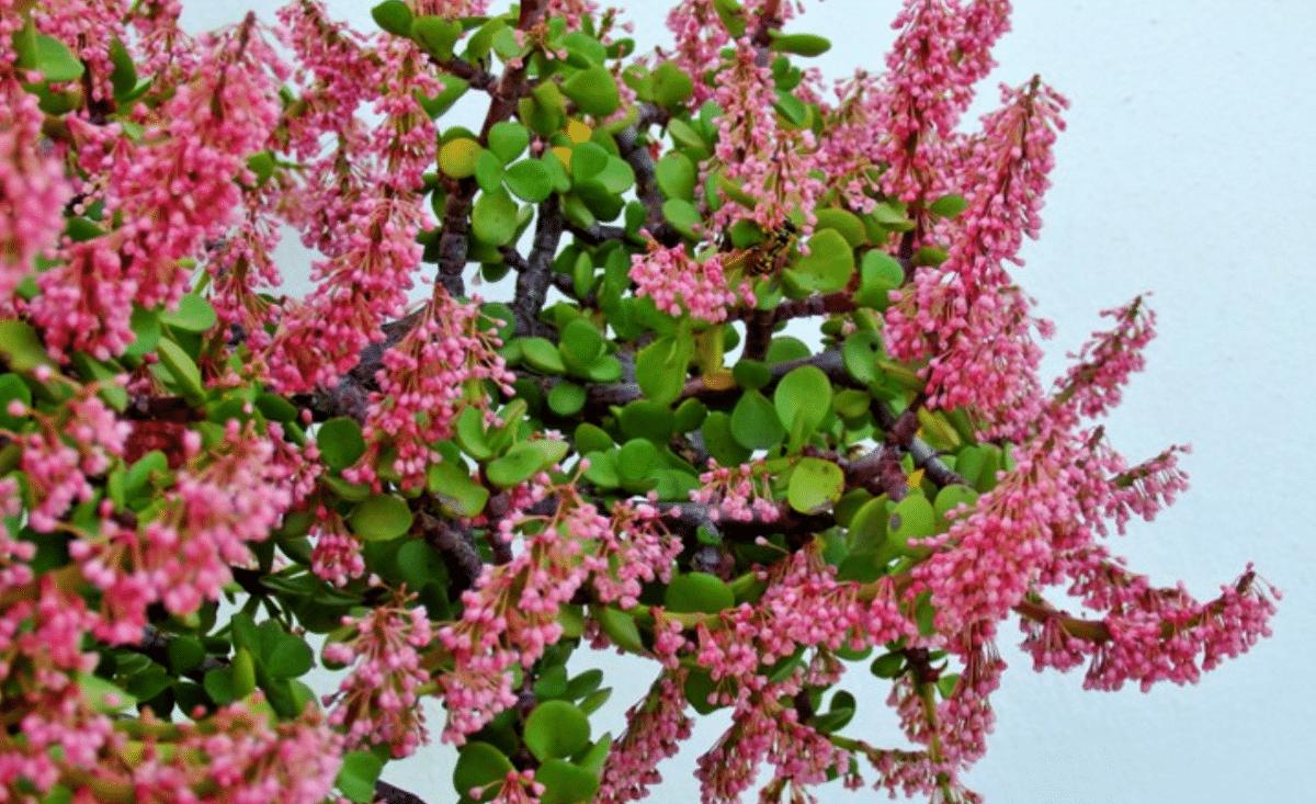 Las flores de la Portulacaria son ornamentales