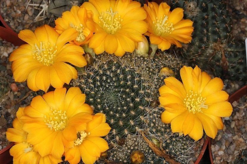 Flor de cactus grande