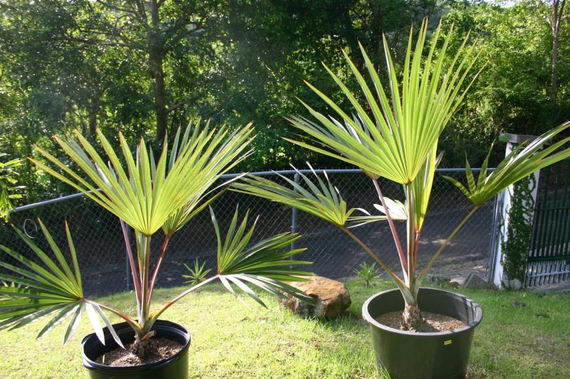 Se pueden tener palmeras en maceta for Palmeras de exterior