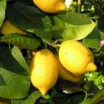 Limonero con frutos