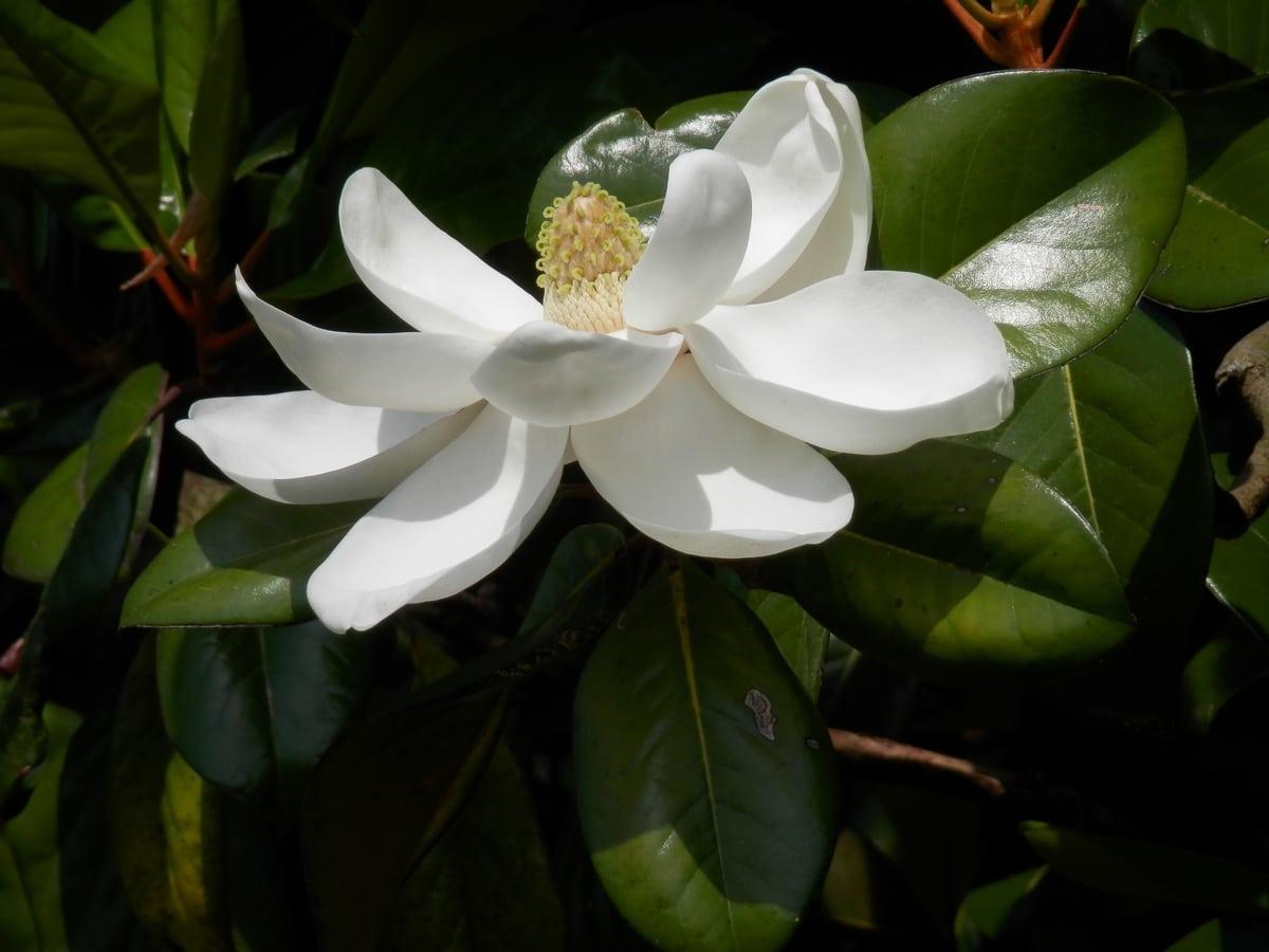 La Magnolia grandiflora es un árbol grande
