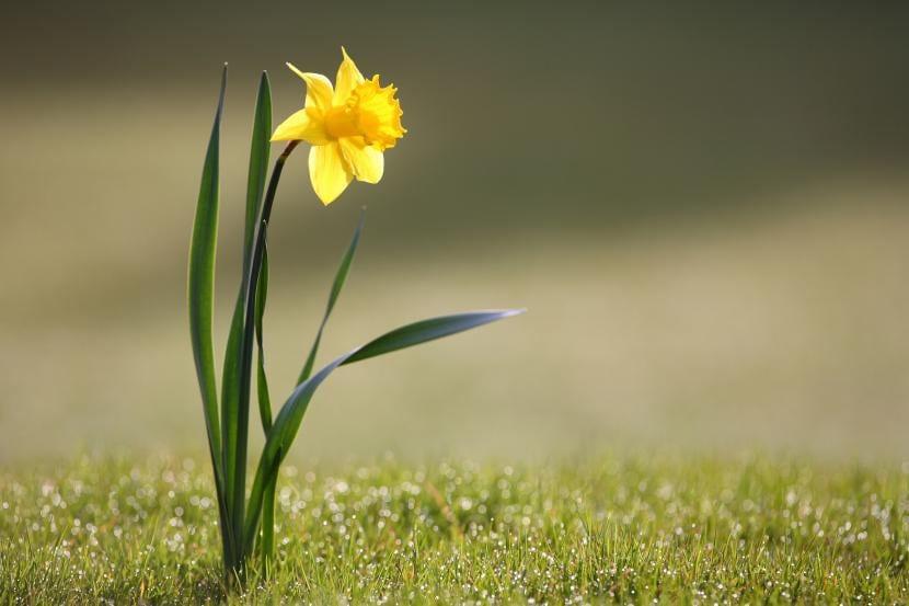 Narciso, una flor muy fácil de cuidar