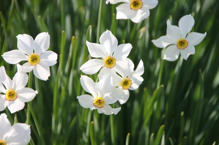 Narciso blanco en flor