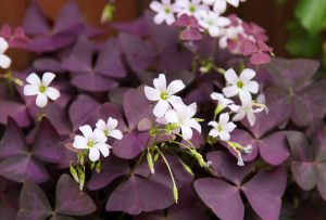Vista del Oxalis triangularis