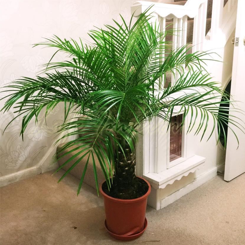 se pueden tener palmeras en maceta?