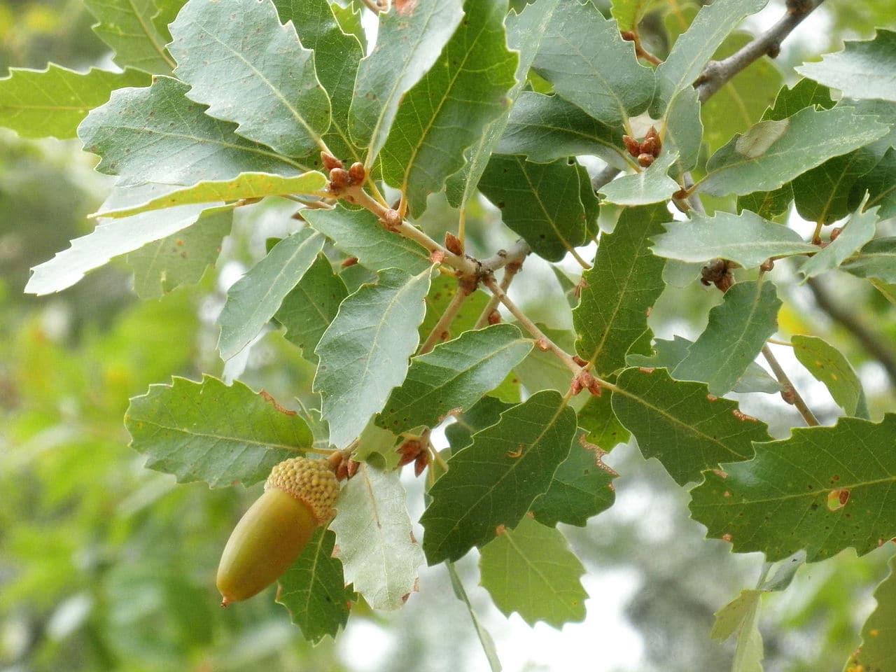 El Quercus canariensis es un árbol perennifolio ideal para jardines