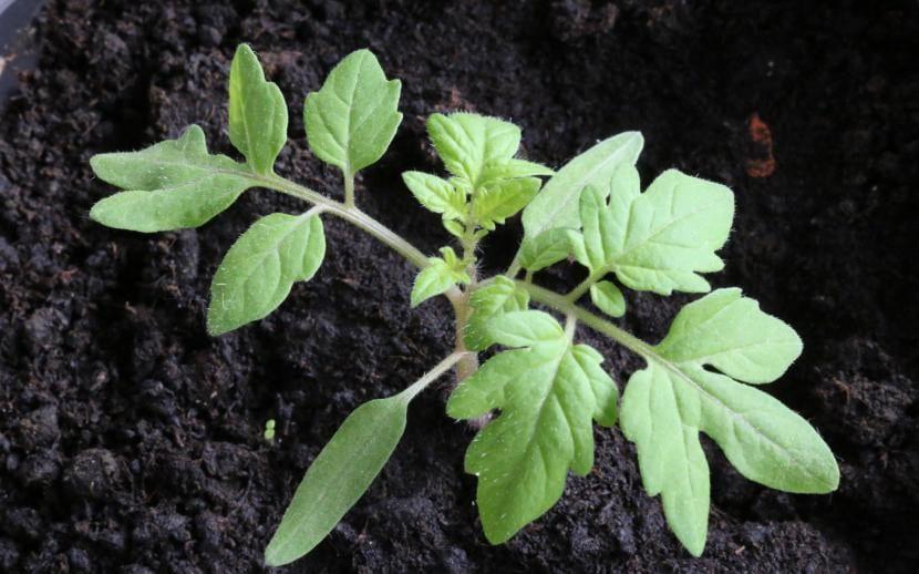 Las tomateras se pueden sembrar directamente en semillero o en el suelo.