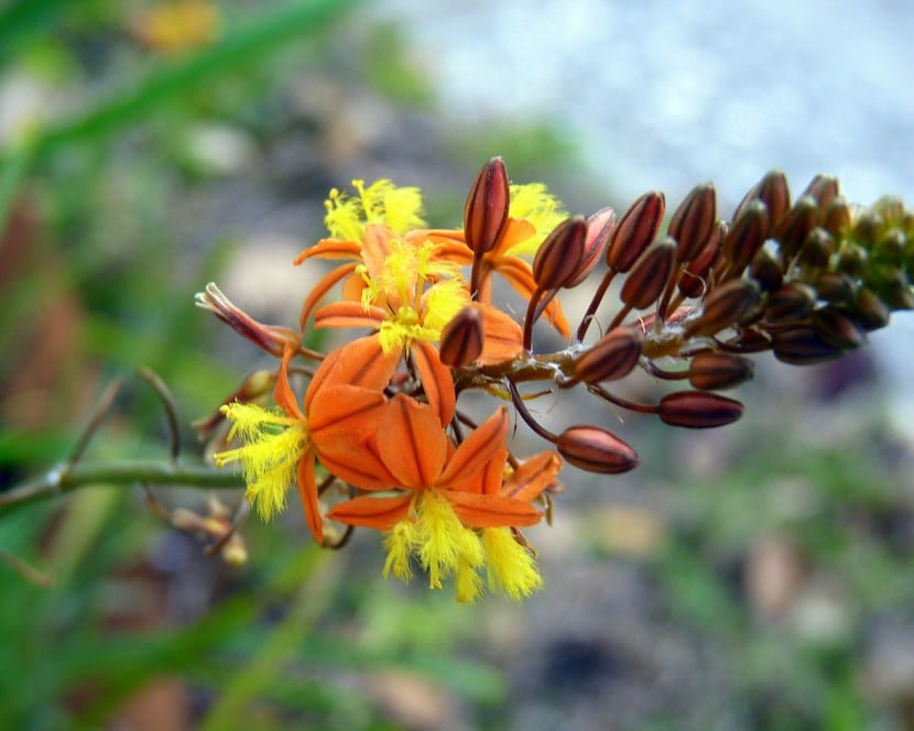 Flor Bulbines frutescens