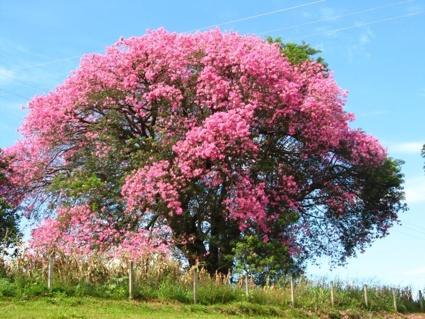 Ceiba speciosa