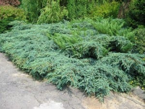 Juniperus x pfitzeriana