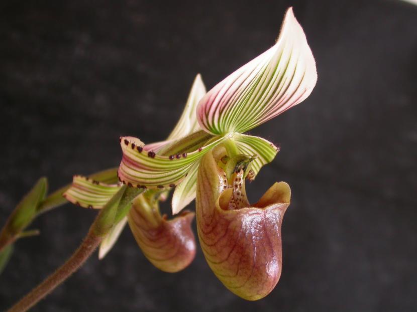 Paphiopedilum hennisianum