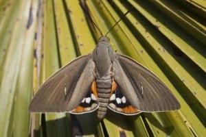 La Paysandisia es una de las plagas más peligrosas de las palmeras
