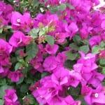Buganvilla de flores lilas