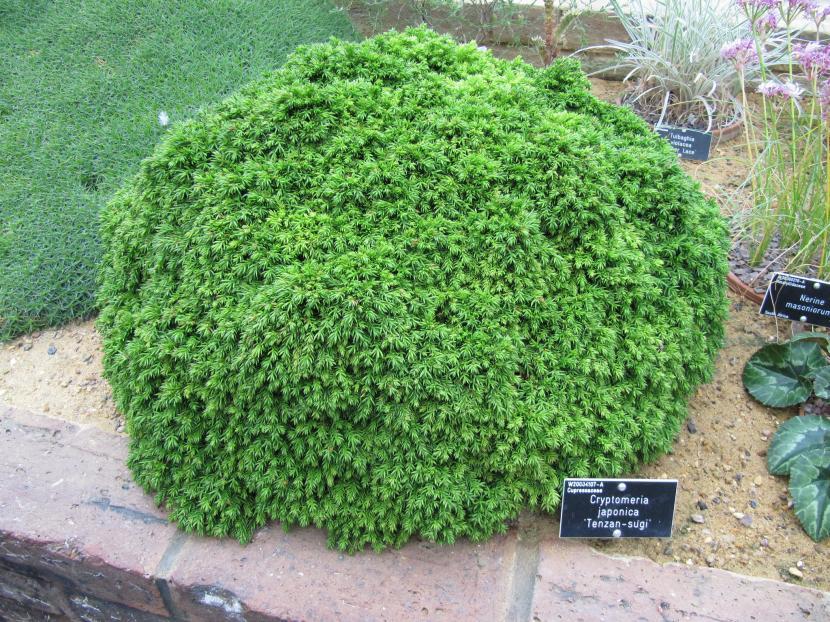 Cryptomeria japonica 'Tenzan sugi'